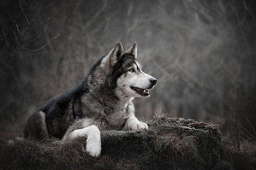 Siberian Husky Hund liegend von Lotte van Alderen
