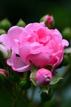 Rosa Rose von Gerard de Zwaan