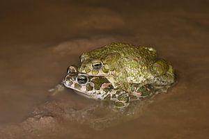 Wechselkröten (Bufotes virides) von