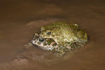 Groene padden (amplex) van Frank Heinen
