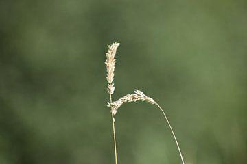 Hoog gras van Kashja Neels