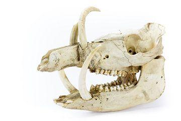 Schedel van een dood wild zwijn met grote slagtanden van Ben Schonewille