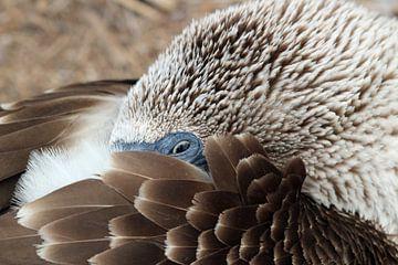 Close up blue footed booby van Marieke Funke