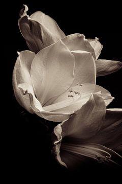 Bloem | Amaryllis zonder titel van Henriëtte Mosselman