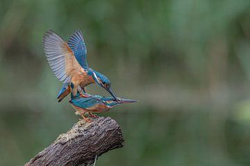 Paarung von Eisvögeln in der niederländischen Natur von Ronald Groenendijk