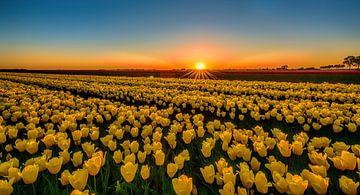 Tulpen van Reint van Wijk