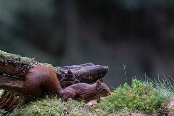 Eichhörnchen von Anjella Buckens