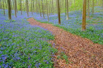 Bospaadje door de Hyacinten sur Sjoerd van der Wal