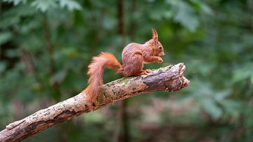 Portret van een eekhoorn van Mark Bolijn