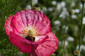 Hommel op zoek naar lekkers in een roze klaproos van J..M de Jong-Jansen
