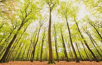 Beukenbos met groene bladeren aan de bomen van onderen van Sjoerd van der Wal