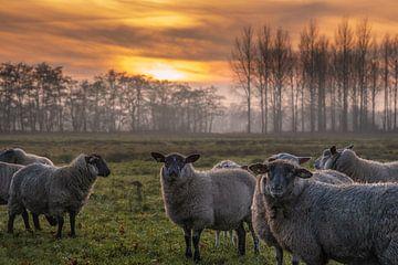 Schaf mit untergehender Sonne von Miranda Heemskerk