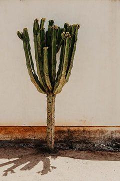 Kaktus San Diego von Amber den Oudsten
