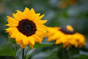 Zonnebloem in het veld van Elly Damen