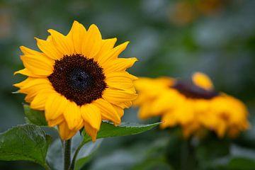 Sonnenblume auf dem Feld von Elly Damen