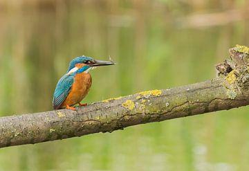 Ijsvogel / Common Kingfisher van Anna Stelloo