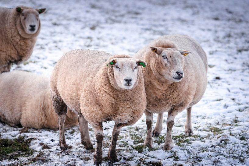 Schapen in een winters sneeuw landschap van Fotografiecor .nl