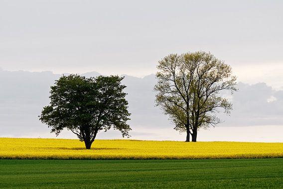 Zwei Bäume im Rapsfeld