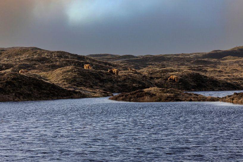 Schotse hooglanders in de Texelse duinen van Everydayapicture_byGerard  Texel