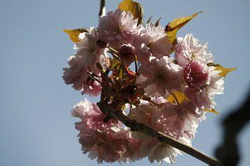 Japanische Kirsche in der Luft von Cora Unk