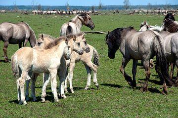 Konikpaarden met lichtgekeurde veulens, Oostvaardersplassen van Ina Hölzel