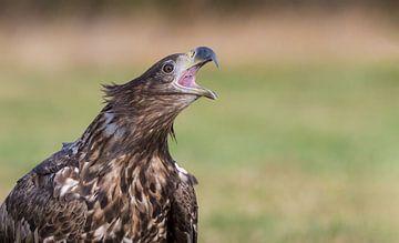 Les règles de la jeunesse (Portrait d'un aigle à tête blanche) sur Harry Eggens
