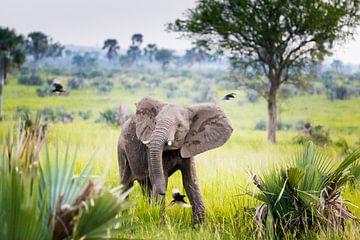 Baby olifant dansend in de regen met vogels in Afrika van Laura de Kwant