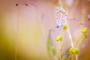 Icarusblauwtje vlinder op bloem van