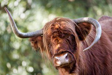 Schotse hooglander met vreemde hoorns van Peter de Kievith Fotografie