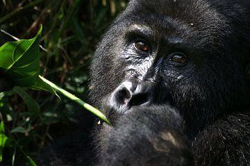 Gorilla close-up van Herman van Egmond