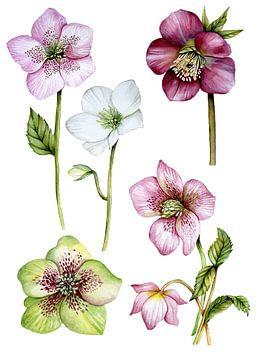 Helleborus roos botanisch van Geertje Burgers