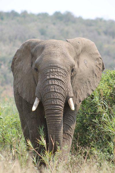 Elefant in Afrika von Christiaan Van Den Berg