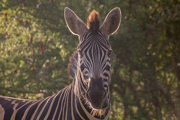 Zebra-Morgensonne mit Spinnennetzauge von Marijke Arends-Meiring