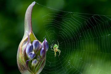 Kleine groene spin op Agapanthus bud van Joachim Küster