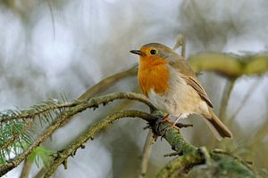 Robin Redbreast ( Erithacus rubecula )