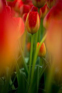 kleurrijke tulp midden in een veld von Jovas Fotografie