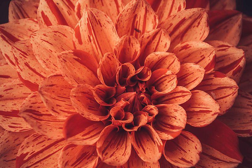 Oranje dahlia vol in beeld van Koop je Canvas