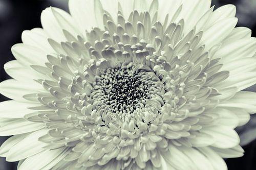 Dahlia Zwart/wit