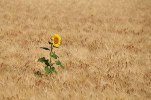 Eenzame zonnebloem in het het tarweveld van
