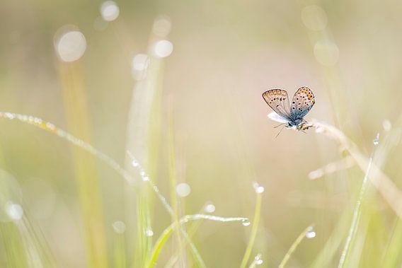 Heideblauwtje in het gras