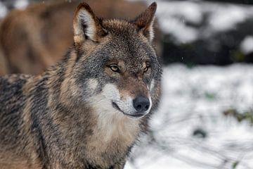 Porträt eines grauen Wolfes von gea strucks