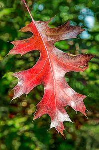 Feuille rouge d'un chêne sur