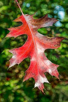 Rotes Eichenblatt von Frans Blok