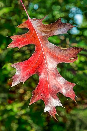 Rood eikenblad van