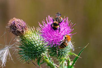 eine Biene und eine Distel von Claudia De Vries