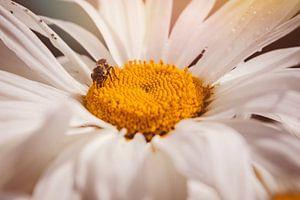 Honingbij op Bloem van Maaike Beveridge