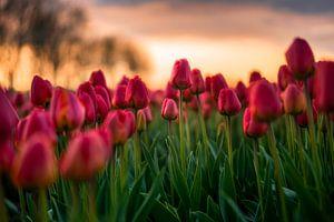 Bloeiende tulpen