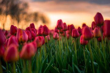 Bloeiende tulpen von Maarten Mensink