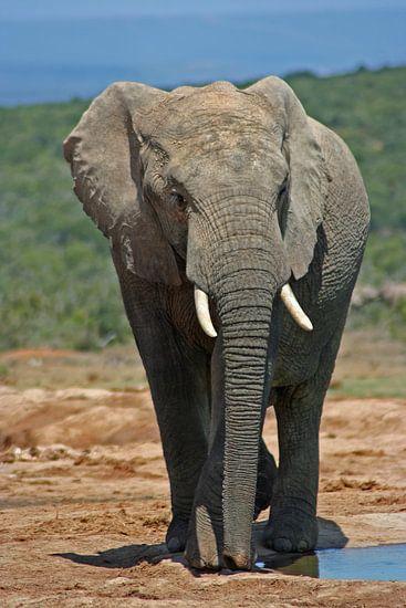 Elephant in Africa van Manuel Schulz