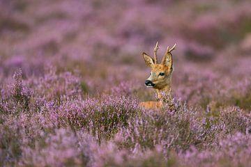Roe Deer ( Capreolus capreolus ) in nice violett blooming heather van wunderbare Erde